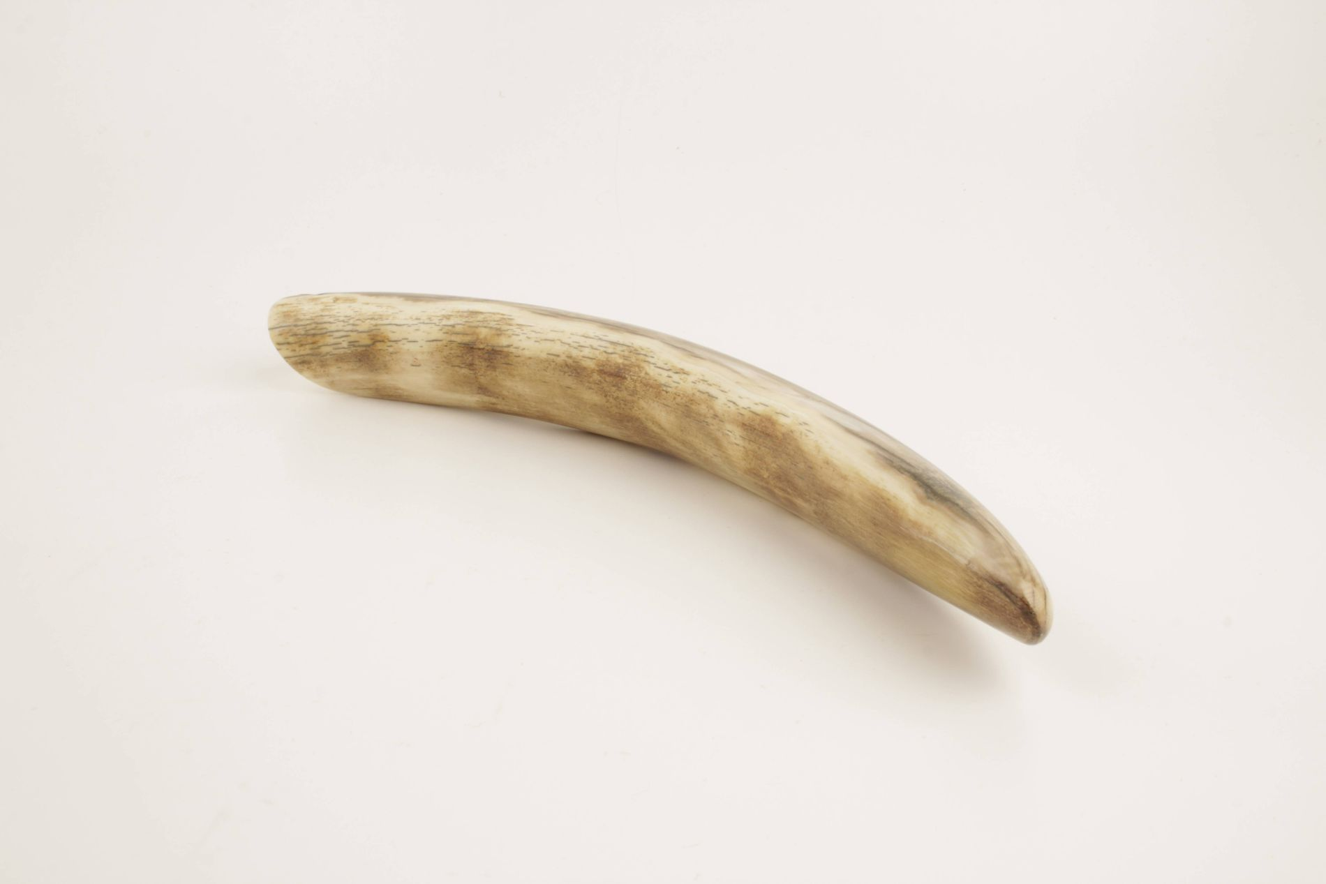 Restored woolly mammoth tusk tip