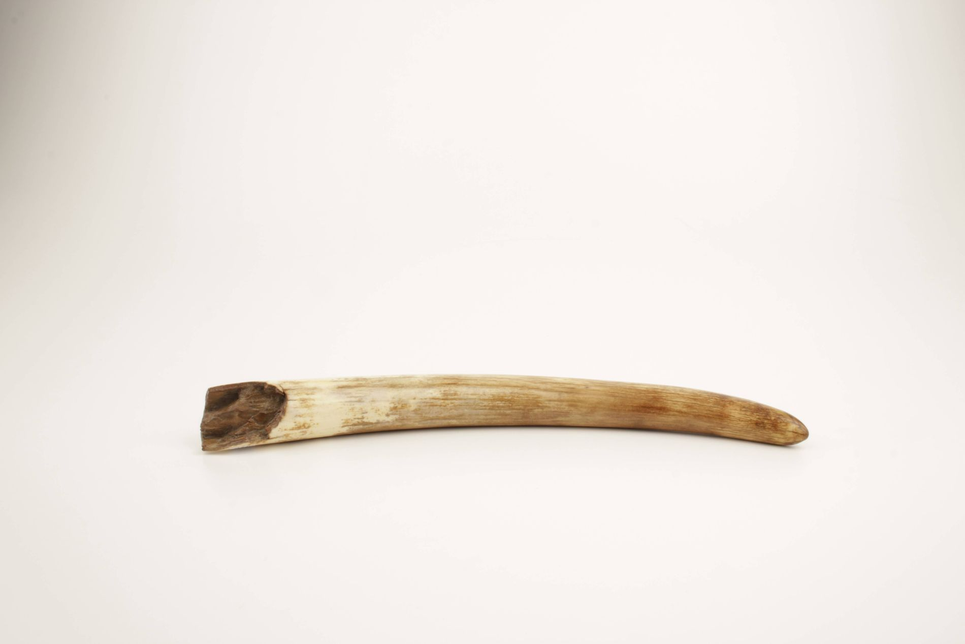 Restored mammoth tusk tip