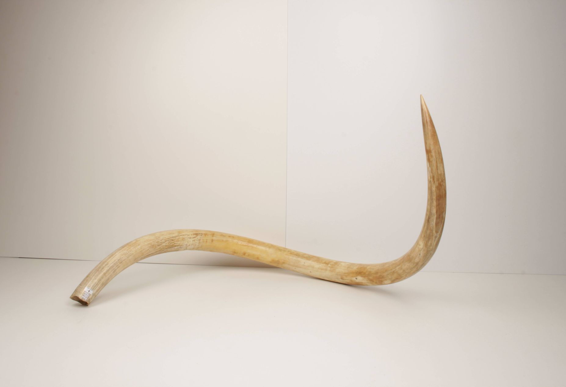 Natural woolly mammoth tusk
