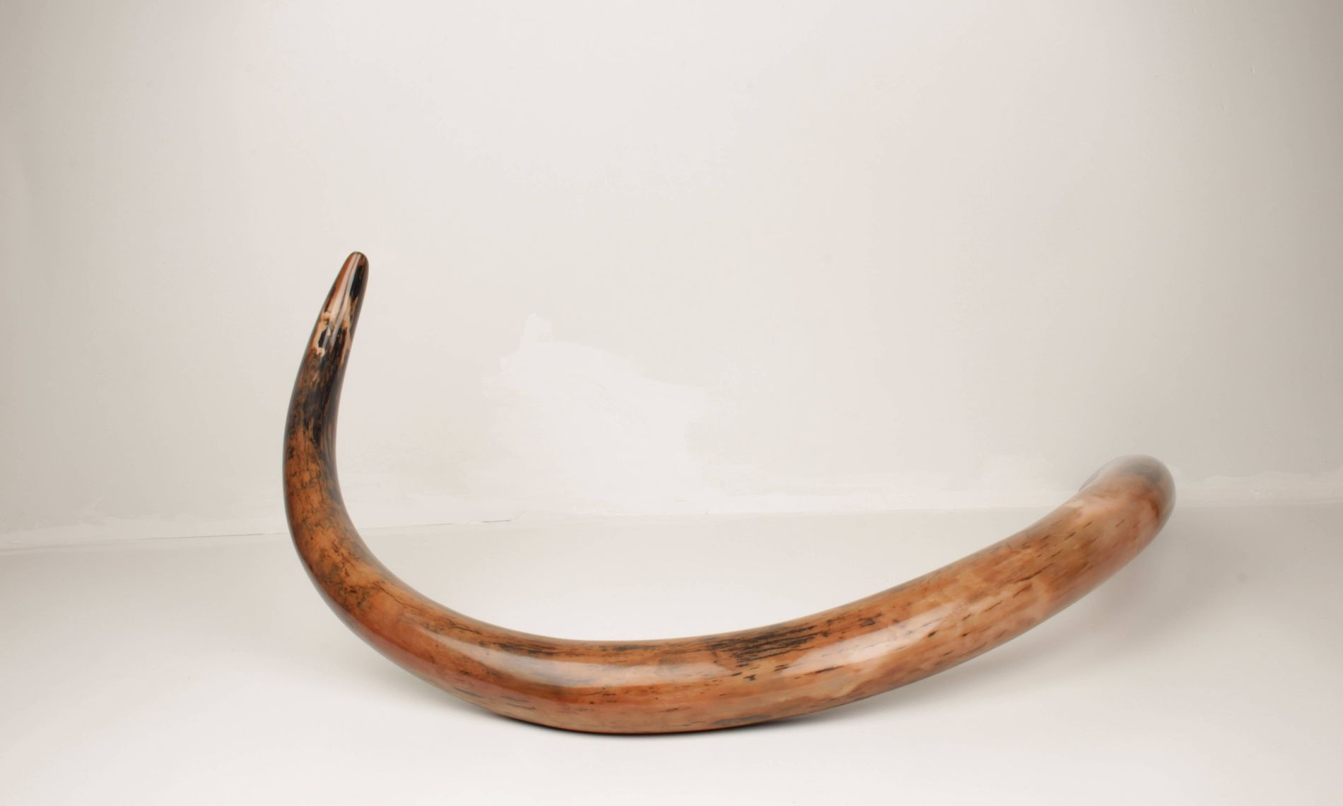 Restored woolly mammoth tusk 33.7 kg