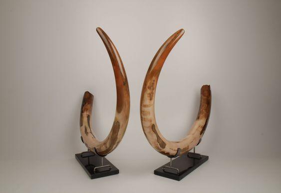 Restored woolly mammoth tusk pair